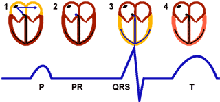 Rythme sinusal, rapport anatomique dans le cœur