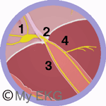 Système de conduction du cœur: Nœud AV et faisceau de His